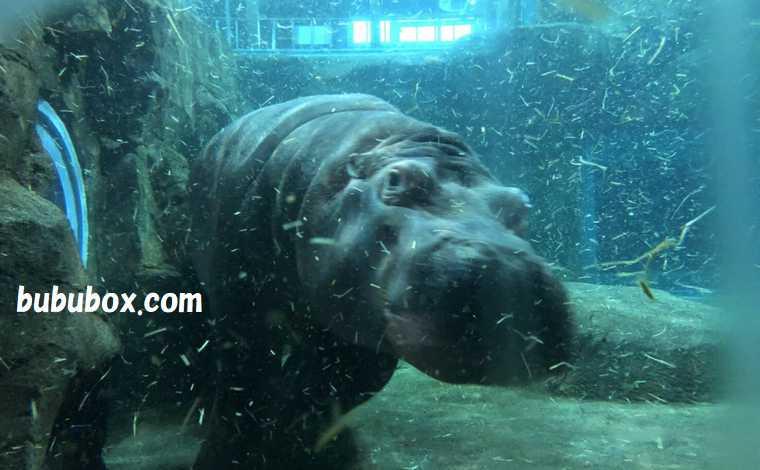 旭山動物園 泳ぐカバ