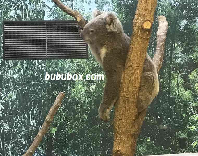平川動物公園 コアラ