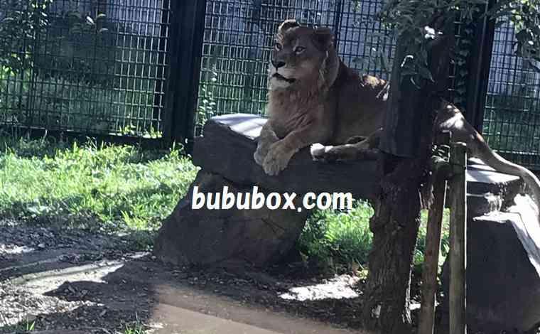 平川動物公園 ライオン