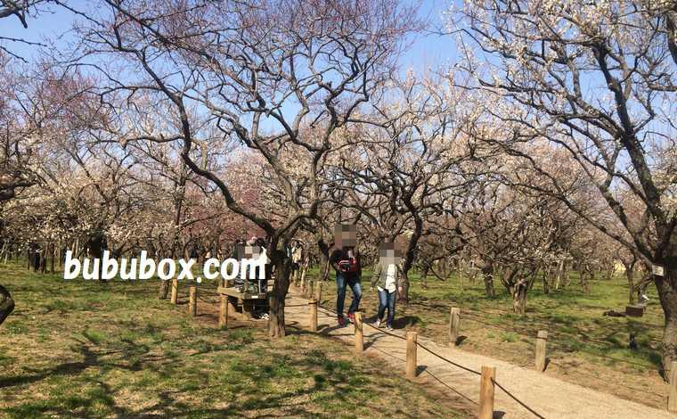 梅の花の時期の偕楽園