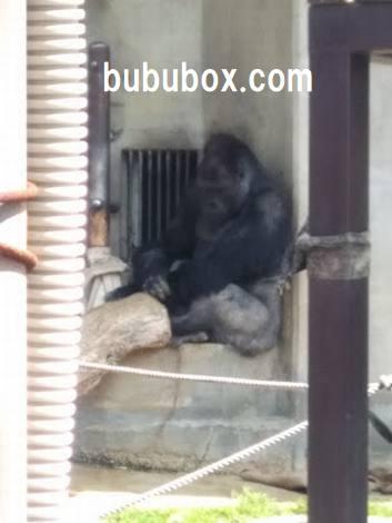 東山動物園 シャバーニ