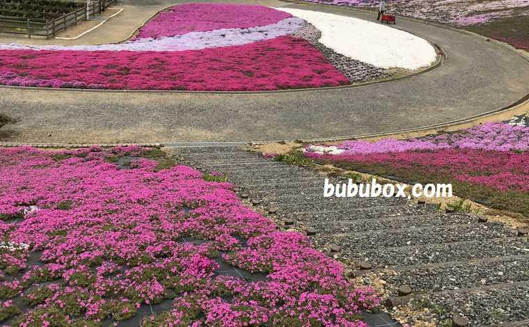 志摩市観光農園 芝桜