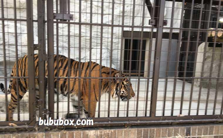 野毛山動物園 トラ
