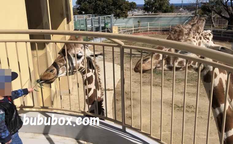 かみね動物園 キリン 餌やり