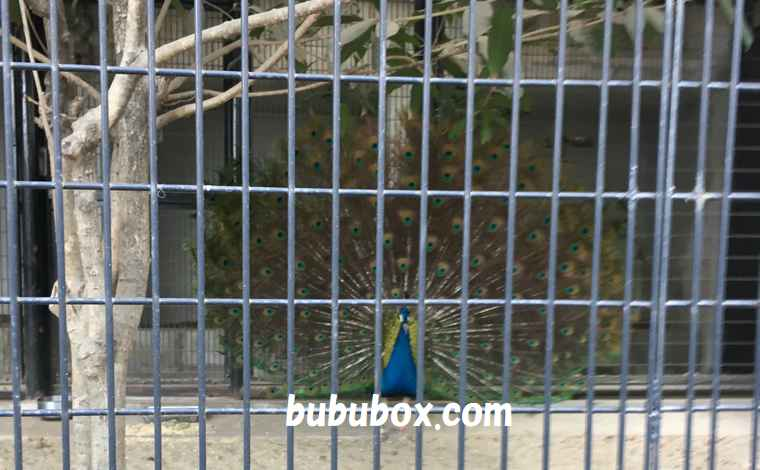 野毛山動物園 孔雀